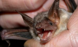 Bat Removal and Control 317-535-4605