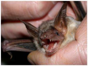 Indianapolis Get Rid of Bats 317-535-4605