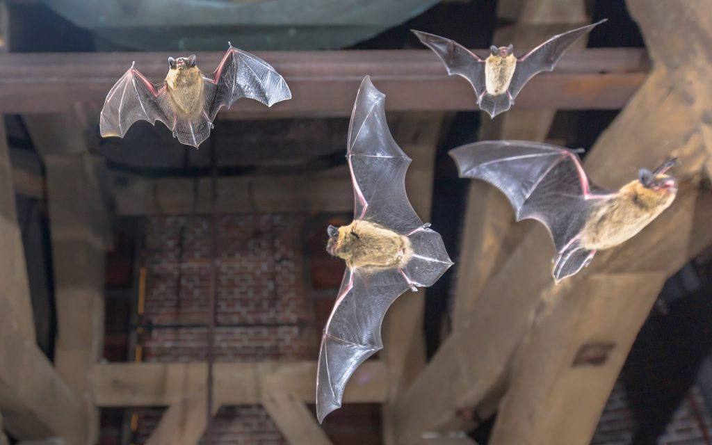 Indianapolis Bat Removal And Control 317 535 4605