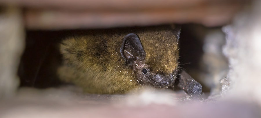 Indianapolis Bat Removal and Control 317-535-4605