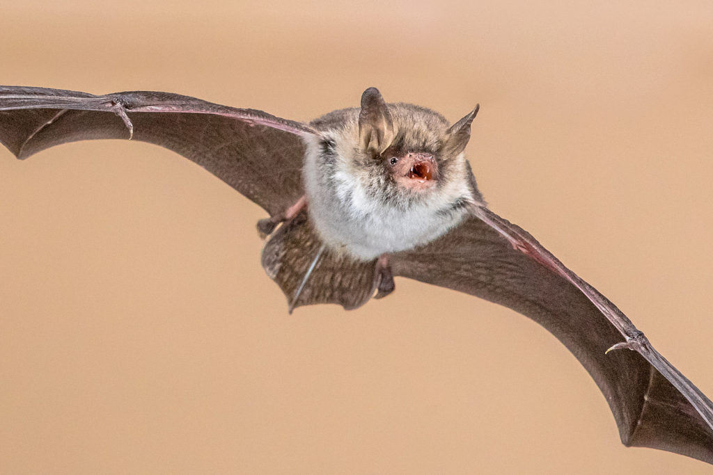 Indiana Bat Removal and Control 317-535-4605